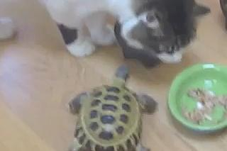Mundo Web: Tortuga vs. Gatos