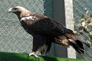"""Amenazados: """"nuestra"""" águila imperial ibérica"""