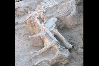 Encuentran en Torrejón de Velasco el mayor esqueleto fósil de jirafa hallado en España