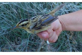 Localizan en San Martín de la Vega una de las aves más amenazadas de Europa